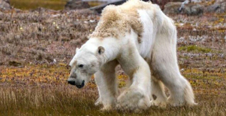 Canibalismo entre osos polares a causa de cambio climático