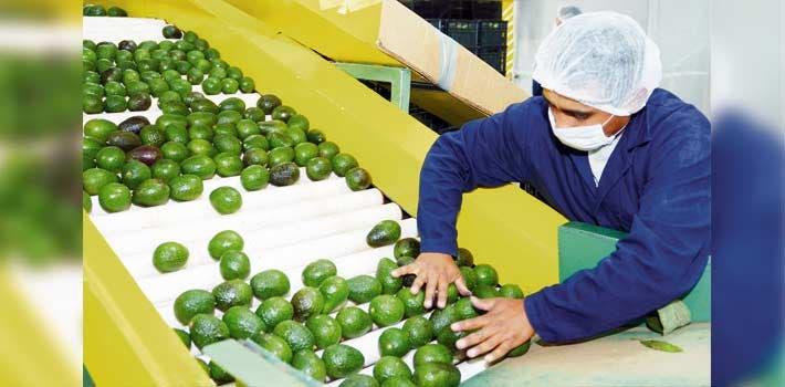 Beneficio. En Zacualpan de Amilpas se destinan 119 hectáreas a la producción de aguacate; la declaratoria beneficia a 93 productores de huertos .