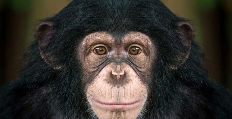 Día Mundial del Chimpancé, la importancia de preservar su especie