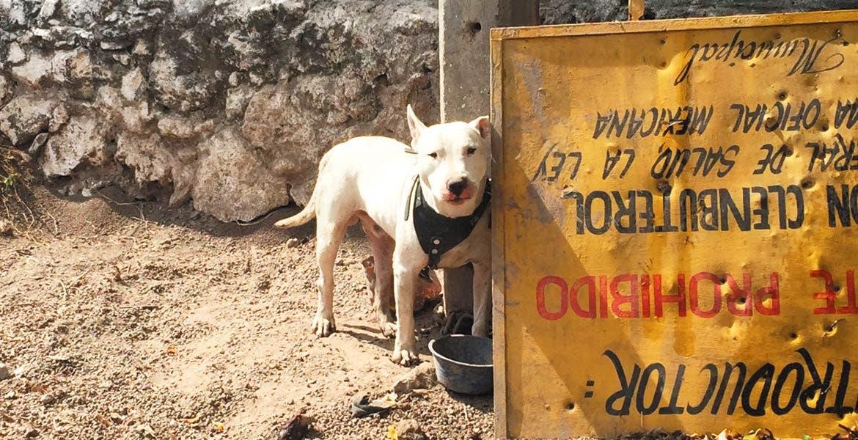 El caso. Otto, es un pitbull que mató a un niño de dos años hace unos días en Tlaltizapán, el cual se salvó de ser sacrificado.