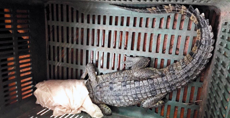 Capturado. Un cocodrilo joven de pantano se donó a la Dirección General de Zoológicos y Vida Silvestre de la CDMX.