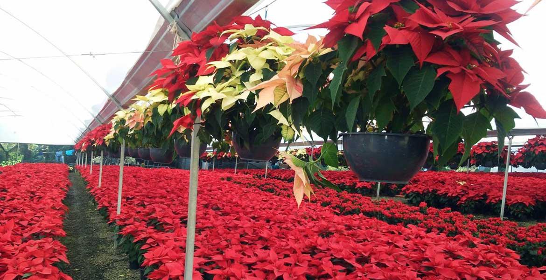 La entidad está posicionada como una de las principales en la producción de flor de Nochebuena, además de tener gran demanda foránea.