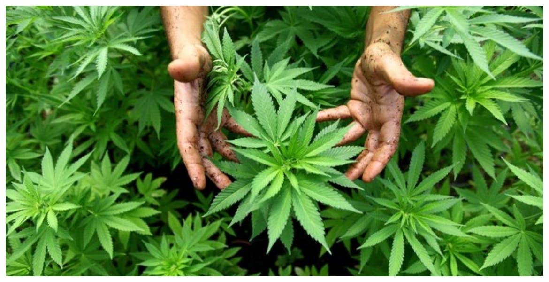 Senado de México deberá legislar sobre uso de la marihuana recreativa