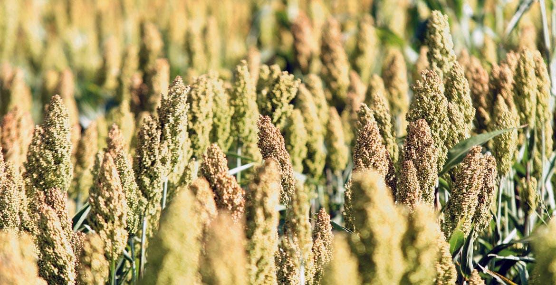 Cultivos. Han solicitado asegurar cinco mil hectáreas de sorgo y cinco mil de maíz.