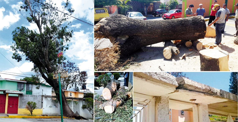 Riesgo. El fresno, de más de 30 metros de altura, estuvo a punto de caer sobre una vivienda de la colonia Las Margaritas.