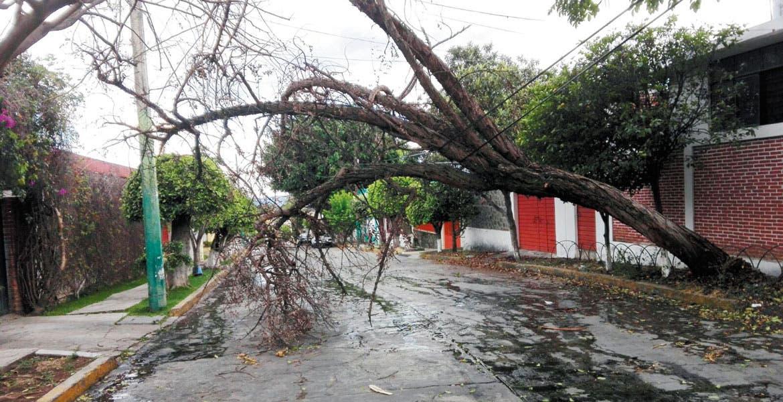 Tromba. En menos de 48 horas catorce árboles colapsaron en Cuernavaca debido a los fuertes vientos que azotaron la capital.