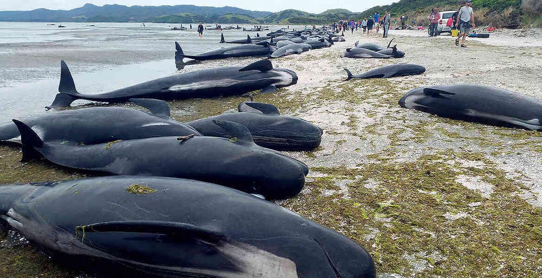 Cientos de ballenas mueren encalladas
