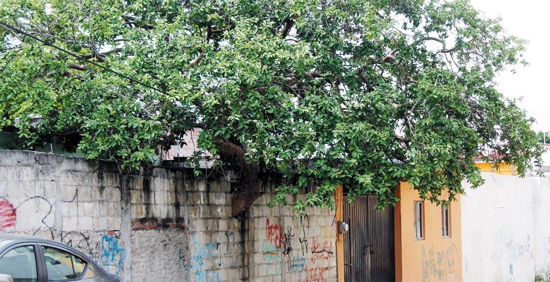 En la calle Isidro Fabela, de la colonia Chapultepec, dueños de una casa decidieron no tirar el árbol para construir una barda y en su lugar, le hicieron un espacio en la misma para que continuara creciendo.