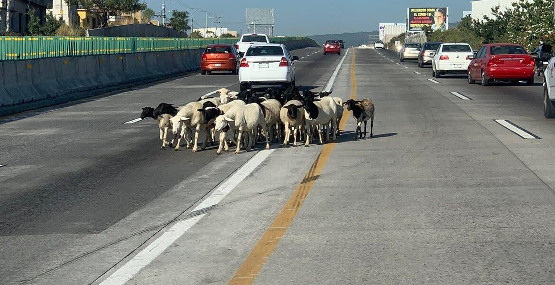Se vuelven virales borregos en el Paso Express Cuernavaca