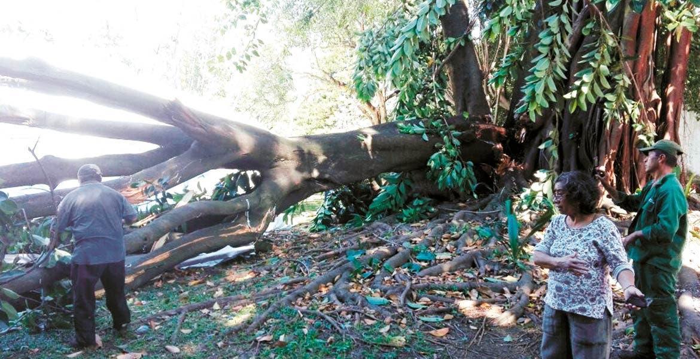 Pérdidas. En la colonia Delicias, otro árbol aplastó a un Volkswagen, y tampoco se reportaron personas heridas.