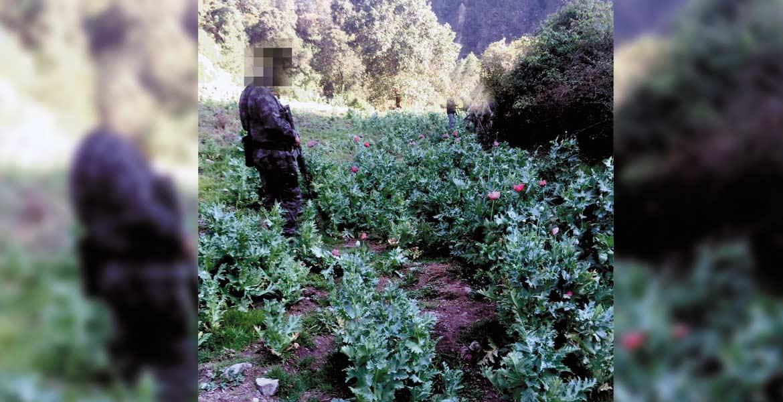 Detectan. Agentes federales destruyeron un sembradío de amapola, con 7 mil 17 plantas.