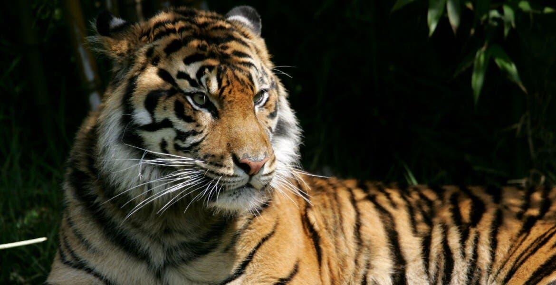 Tigre da positivo por coronavirus en zoológico de Nueva York