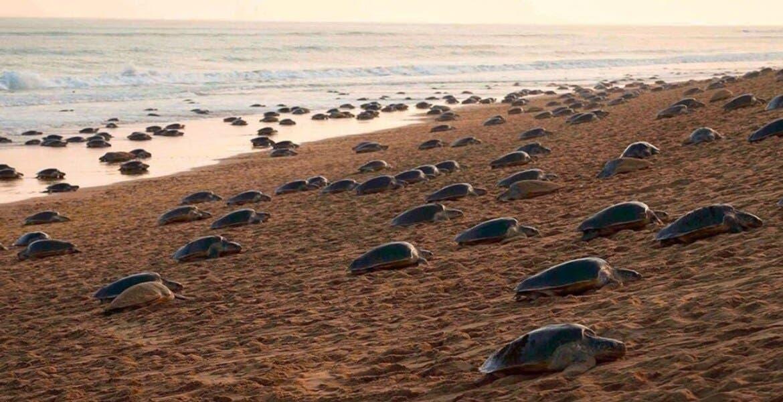 Tortugas anidan en playa vacía durante contingencia por coronavirus