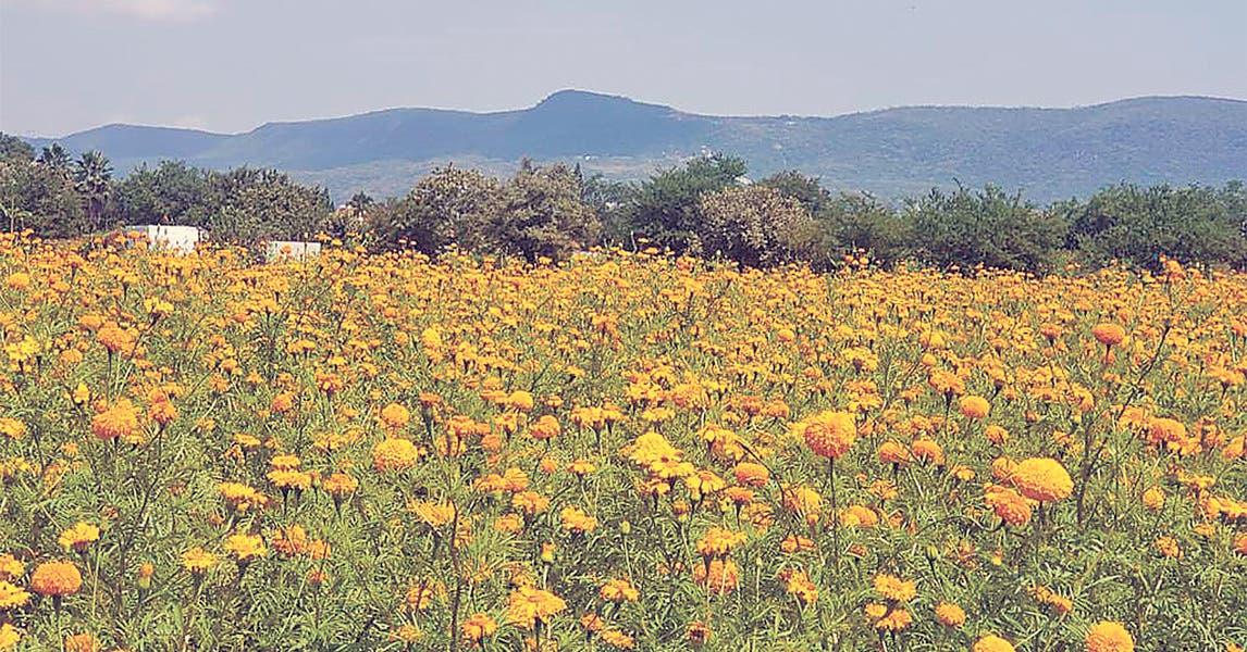 PIXEL. Campos y viveros se pintan de amarillo y naranja en Morelos, viene Día de Muertos