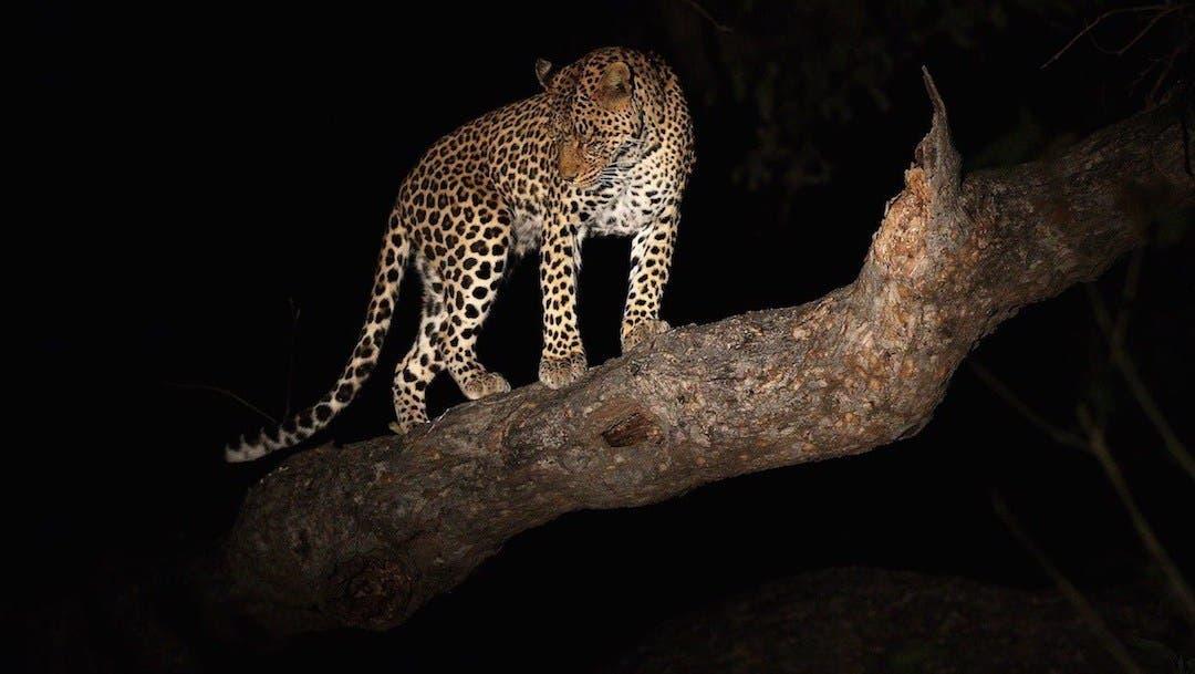Leopardo roba comida del hocico de un cocodrilo