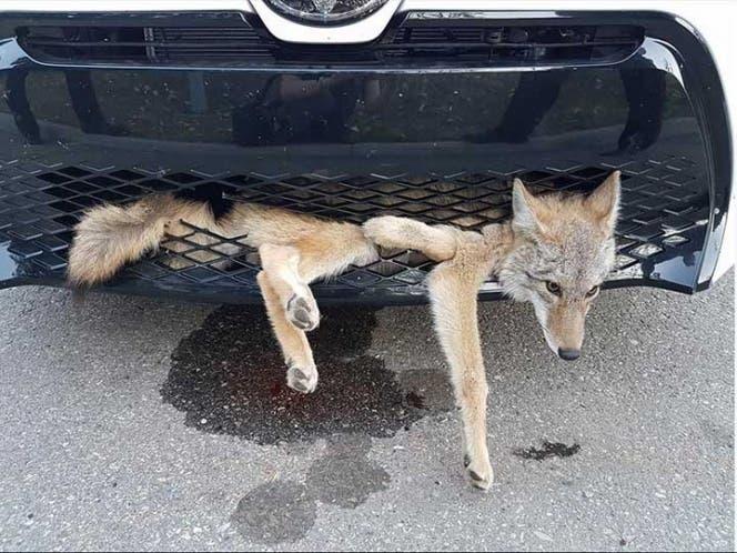 La increíble salvada que tuvo coyote que sufrió brutal atropello