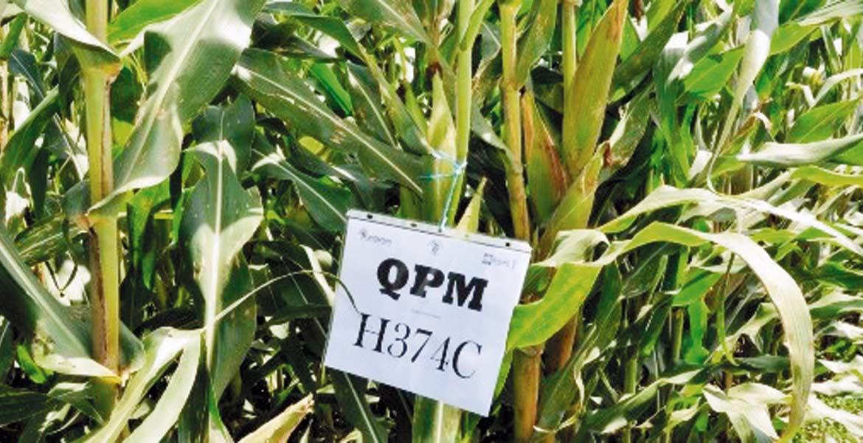 Nutritivo. Los productos elaborados a partir de maíz QPM pueden mejorar considerablemente la nutrición de las familias.