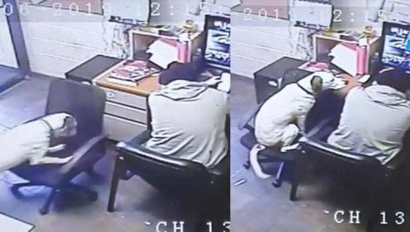 Perrito empuja una silla para sentarse junto a él, mientras su dueño trabaja
