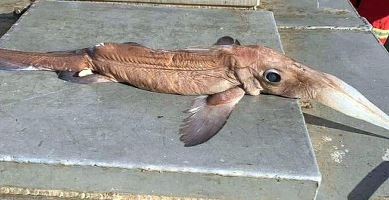 Hallan mítico pez a 800 metros de profundidad