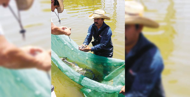 Destacan. Seis municipios de Morelos son los principales productores de peces para consumo humano, entre ellos el bagre.