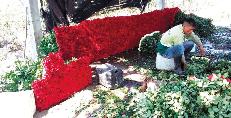 Ya le saben. La familia de Bernardo se ha dedicado desde hace varios años a cosechar rosas en Temixco, que son enviadas a otras partes de la República Mexicana.