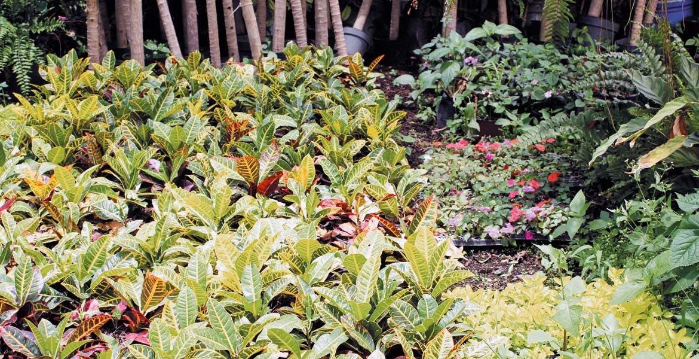 Plantas ornamentales. Morelos ocupa un lugar preponderante en la producción de plantas de ornato; buscan impulsar la economía de viveristas.