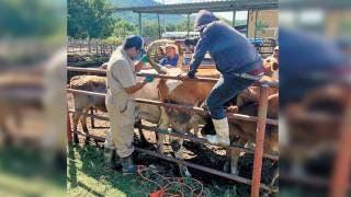 vigila salud en el ganado 2