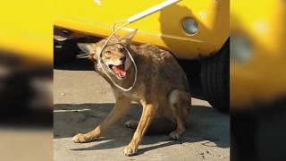 Rescatan un coyote en Cuernavaca 2