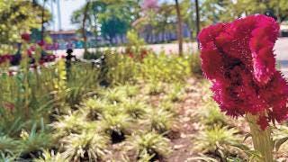 Cuernavaca : Reverdecen jardineras del zócalo capitalino 2