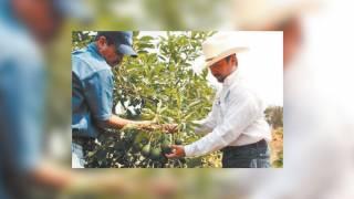Baja venta de fruta en los Altos de Morelos, por contingencia sanitaria 2