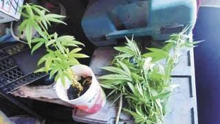 Aseguran 5 plantas de mariguana al catear una casa en Jiutepec 2