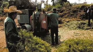 Se encargará UAEM de triturar árboles navideños; hoy inicia la recepción 2