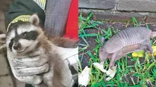 Rescatan a armadillo y mapache 2