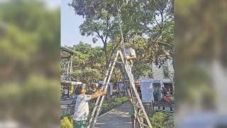 Combaten plaga que seca en árboles de Cuernavaca 2