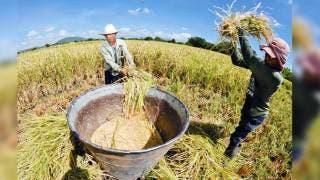 Destacan. Los productores arroceros son un caso de éxito de la propiedad intelectual tras lograr la denominación del origen del arroz del Estado de Morelos.
