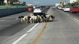 Se vuelven virales borregos en el Paso Express Cuernavaca 2