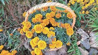 'Pega' pandemia a producción de flor de cempasúchil en Morelos 2