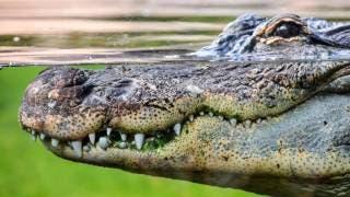 Indigente pierde un brazo tras ataque de cocodrilo en Villahermosa 2