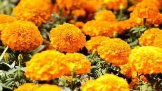 Flor de cempasúchil: típica del Día de Muertos