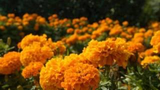 La Leyenda de la Flor de Cempasúchil 2