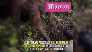 Orangután salva a hombre